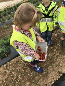 Strawberry picking at Mitchell fruit farm
